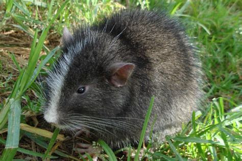 Machu Picchu arboreal chinchilla rat