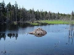 Beaver lodge