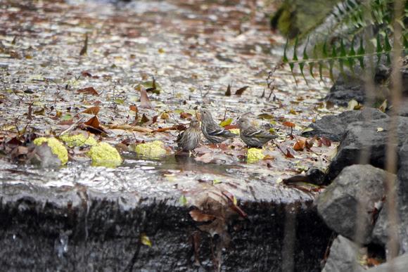Ed Gaillard: birds &emdash; Pine Siskins bathing, Central park