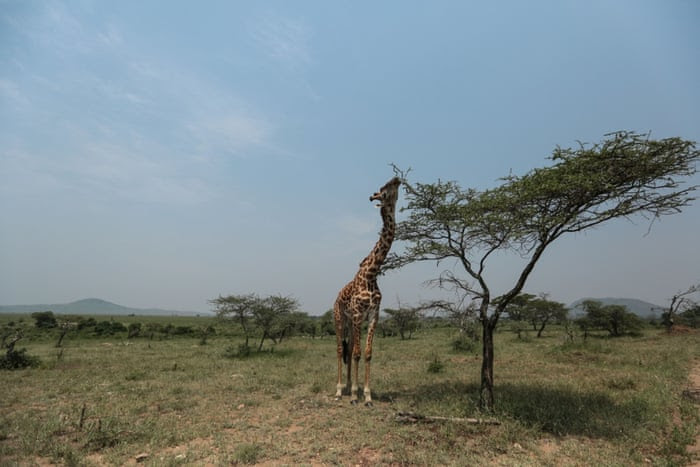 In this photo taken Sunday, Jan. 18, 2015, a Maasai giraffe eats tree leaves in Serengeti National Park, west of Arusha, northern Tanzania. The park is the oldest and most popular national park in Tanzania and is known for its annual migration of millions of wildebeests, zebras and gazelles.