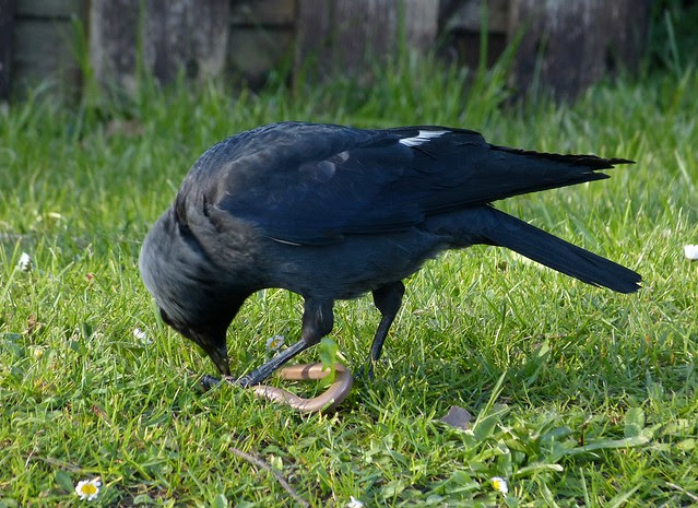 26927 - Jackdaw eating Slow Worm