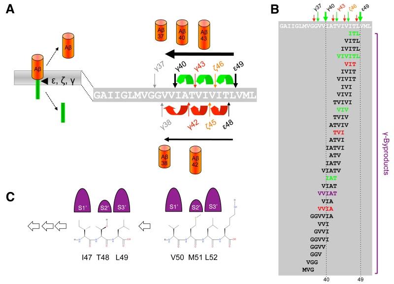 Making The Final Cut Pathogenic Amyloid B Peptide Generation By G Secretase