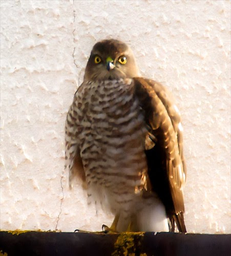 Sparrowhawk finds its breakfast
