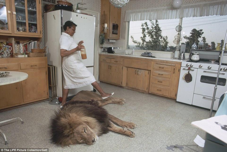 O leão dorme esta noite: uma empregada trabalhando na casa de Los Angeles passa Neil MUITO cuidadosamente na cozinha da família enquanto o gato grande descansa