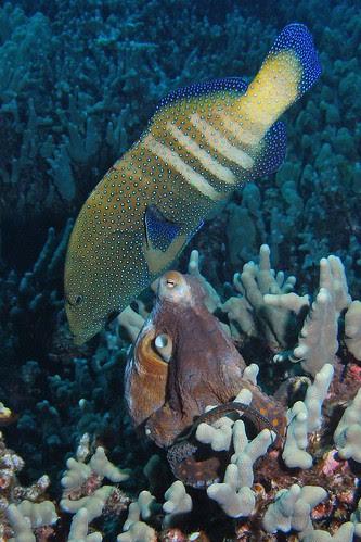 Peacock Grouper/Octopus pairing