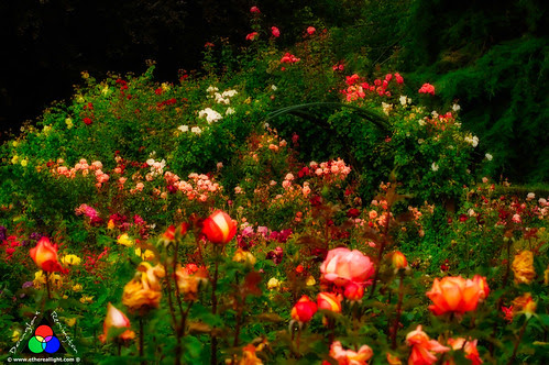Roses, Christchurch, New Zealand - Aotearoa by Douglas Remington - Ethereal Light® Photography