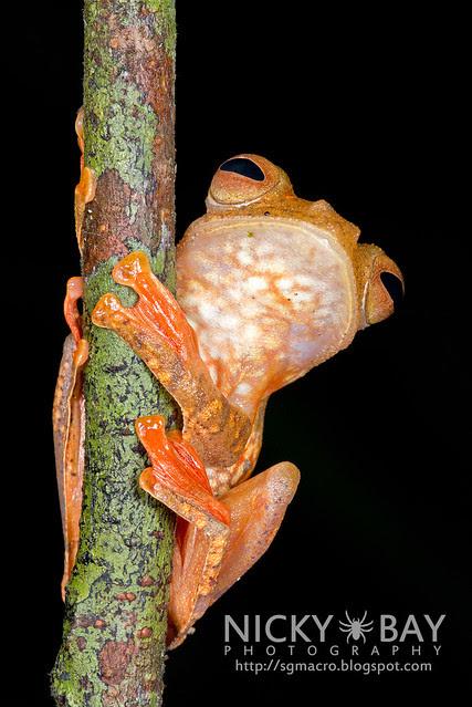 Harlequin Flying Frog (Rhacophorus pardalis) - DSC_8932b