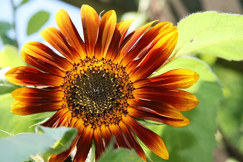 sunflower autumn gold