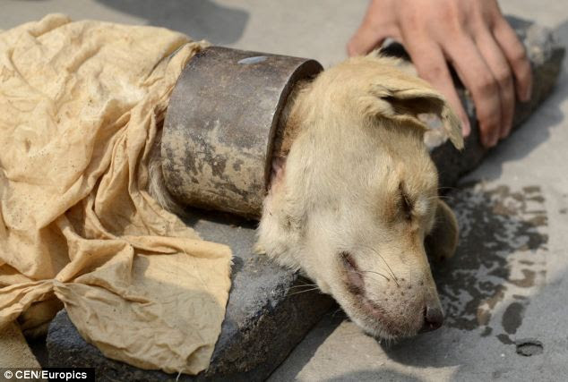 This dog was found with a neck shackle weighing more than 1kg