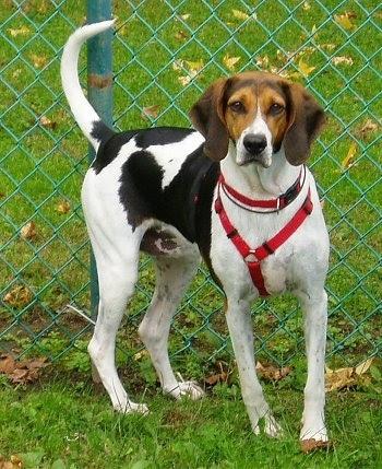 American Foxhound Dog Breeds