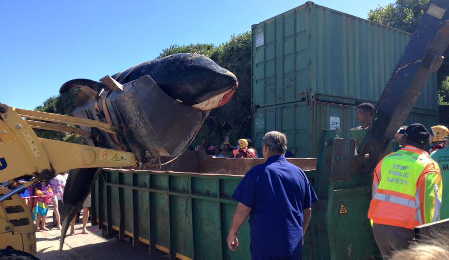 The orca was taken to a dump to be dissected.