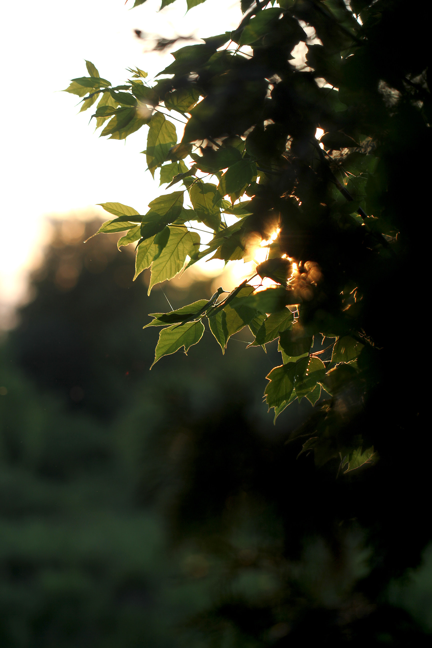 setting sun behind leaves