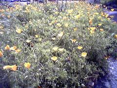 Ca state flower