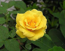 9月23日の誕生花は 黄色いバラ 366日 誕生花の辞典 誕生日の花言葉の図鑑
