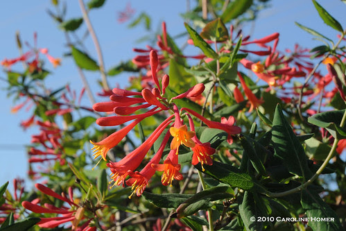 Lonicera sempervirens 'Coral Honeysuckle'