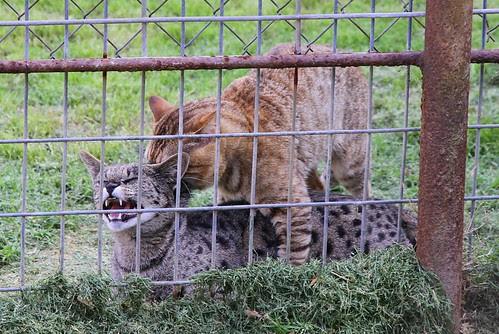 Savannah Cats Mating