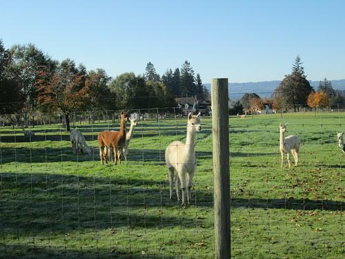 More alpaca cuteness