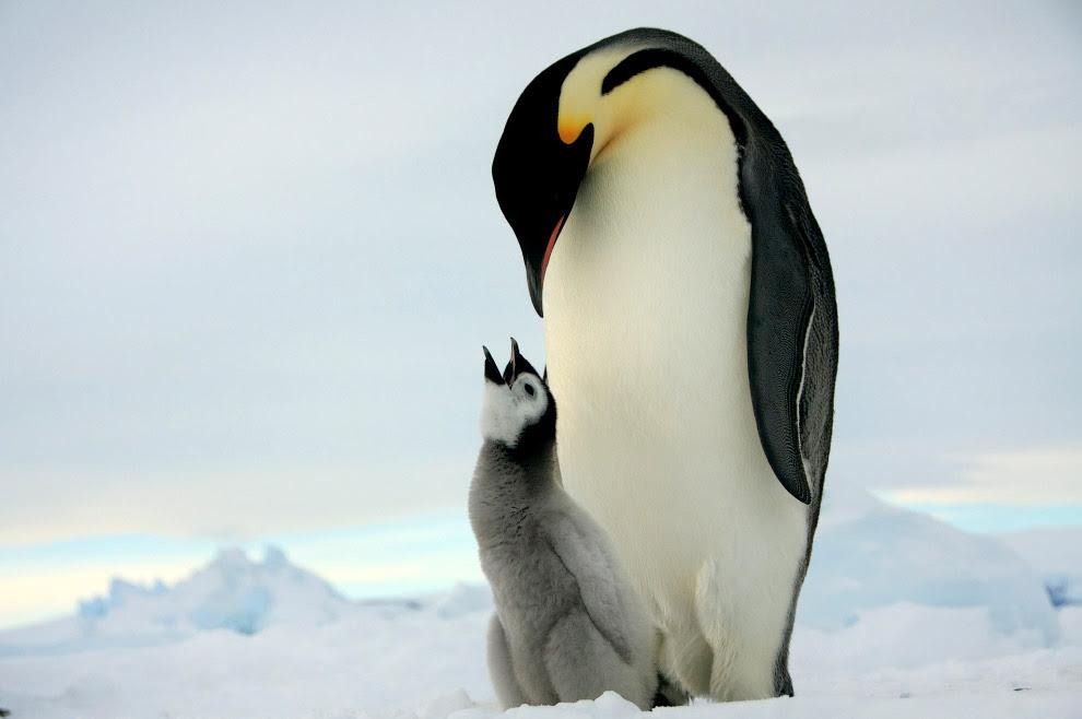 Императорский пингвин и птенец