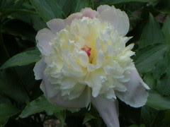 pink tinged cream peony