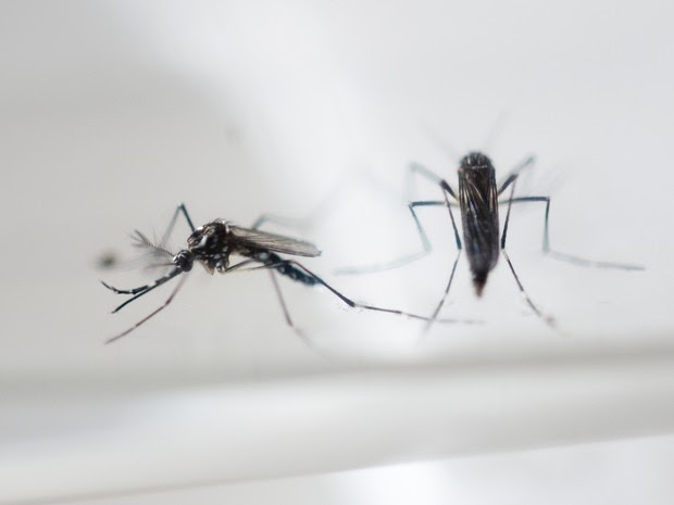 Aedes aegypti, que transmite a zika  (Foto: AFP)