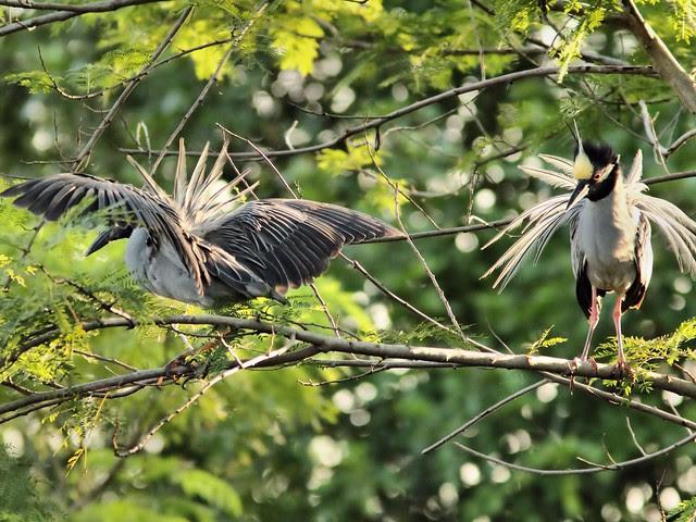Yellow-crowned Night-Herons display 20130524