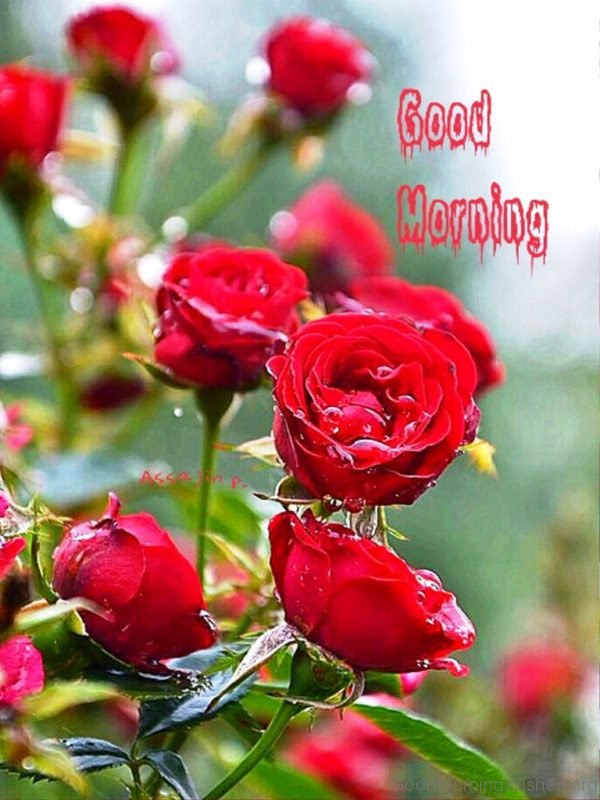 92 Good Morning Wishes With Rose