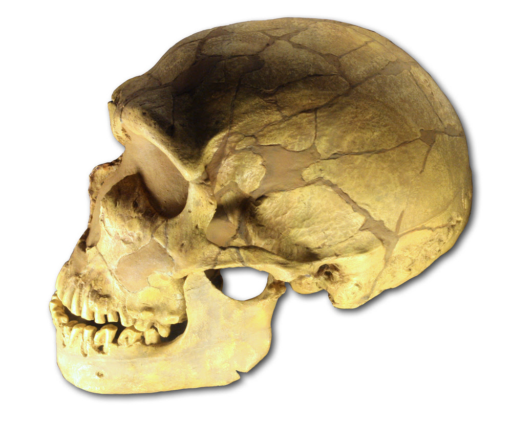 Cráneo de Homo nenaderthalensis