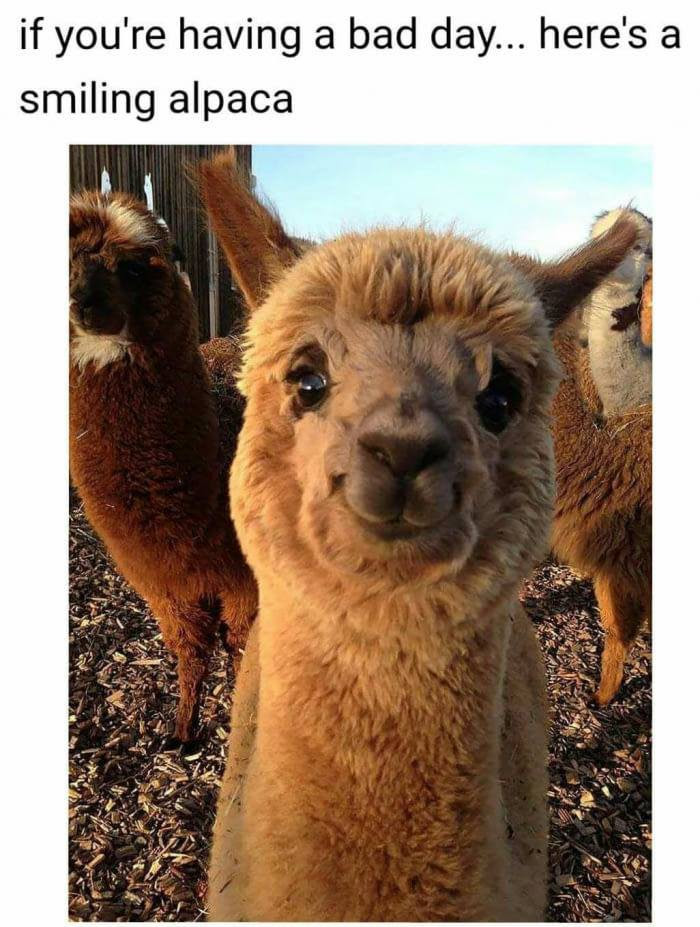 Alpaca If Youre Having A Bad Day 9buz