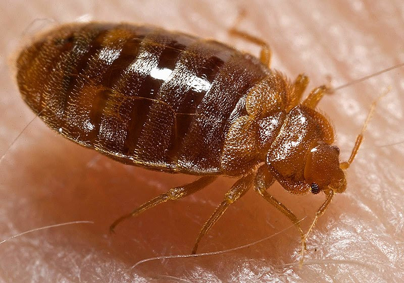 File:Bed bug, Cimex lectularius.jpg