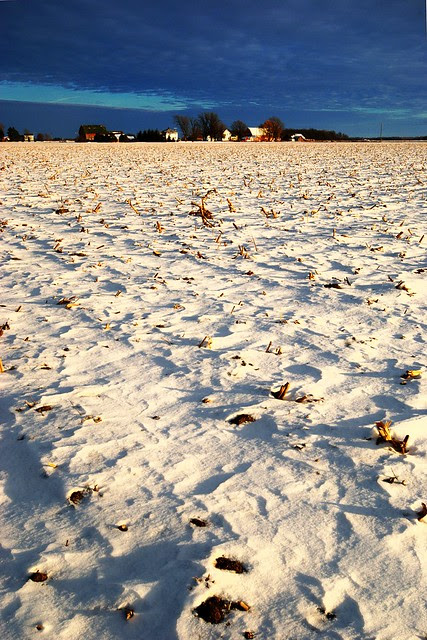 Rows of stubble in a snowy field