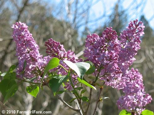 Lilacs! 6