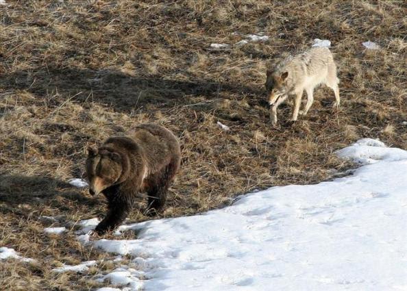 bear wolf