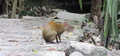 Sunday Species Snapshot: Mexican Agouti   Scientific American Blog Network
