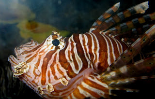 The lionfish hunts by herding it's prey using it's feather like fins...
