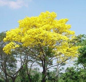 El Árbol Nacional (El Araguaney)