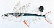 பசுபிக் கடலில் காட்சிப்படுத்தப்பட்ட பறக்கும் மீன். இந்த மீன் சுமார் 45 வினாடிகள் வரை பறப்பில் ஈடுபட்டிருக்கிறது.