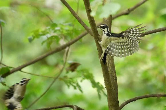 Ed Gaillard: birds &emdash; Downy Woodpeckers, Middlesex Fells (Massachusetts)