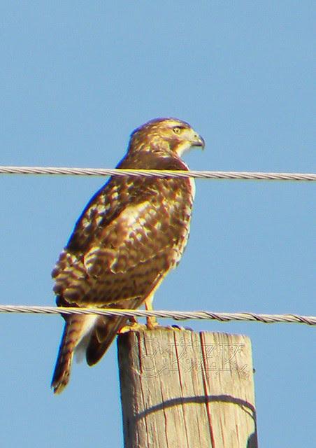 DSCN4658e Hawk