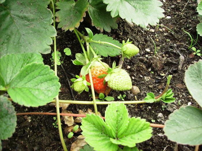 2006-08-19_erdbeeren