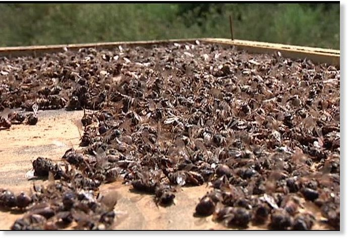 what is killing the bees 2013