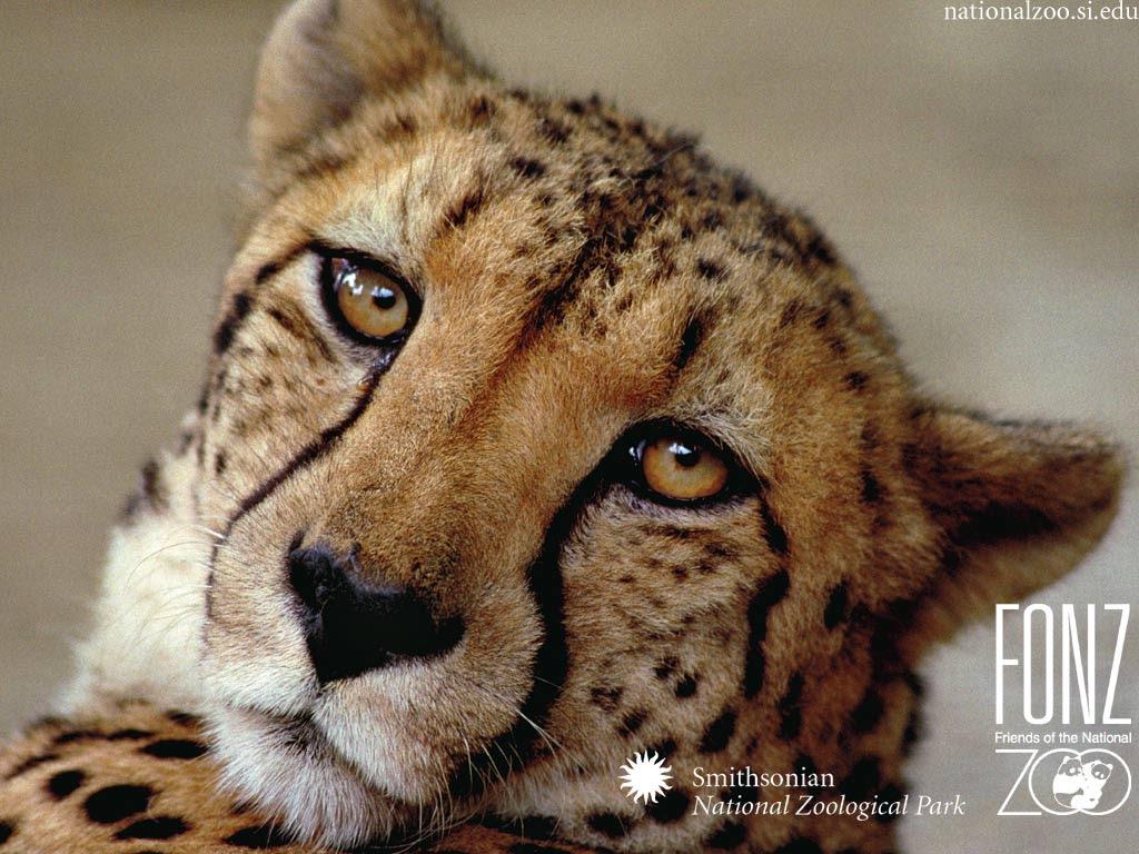 Aku dan Cheetah