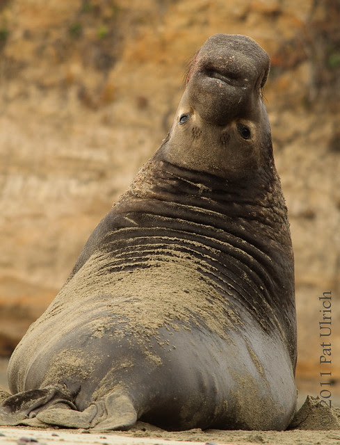 Elephant seal eye contact - Pat Ulrich Wildlife Photography