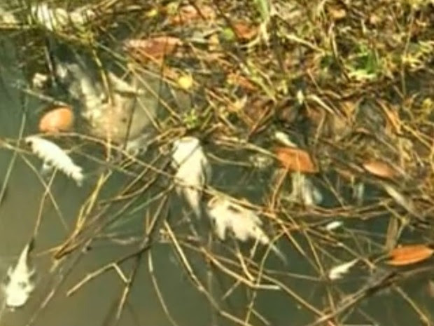Peixes estão sendo encontrado mortos nas margens do rio Araguari (Foto: Reprodução/ TV Amapá)