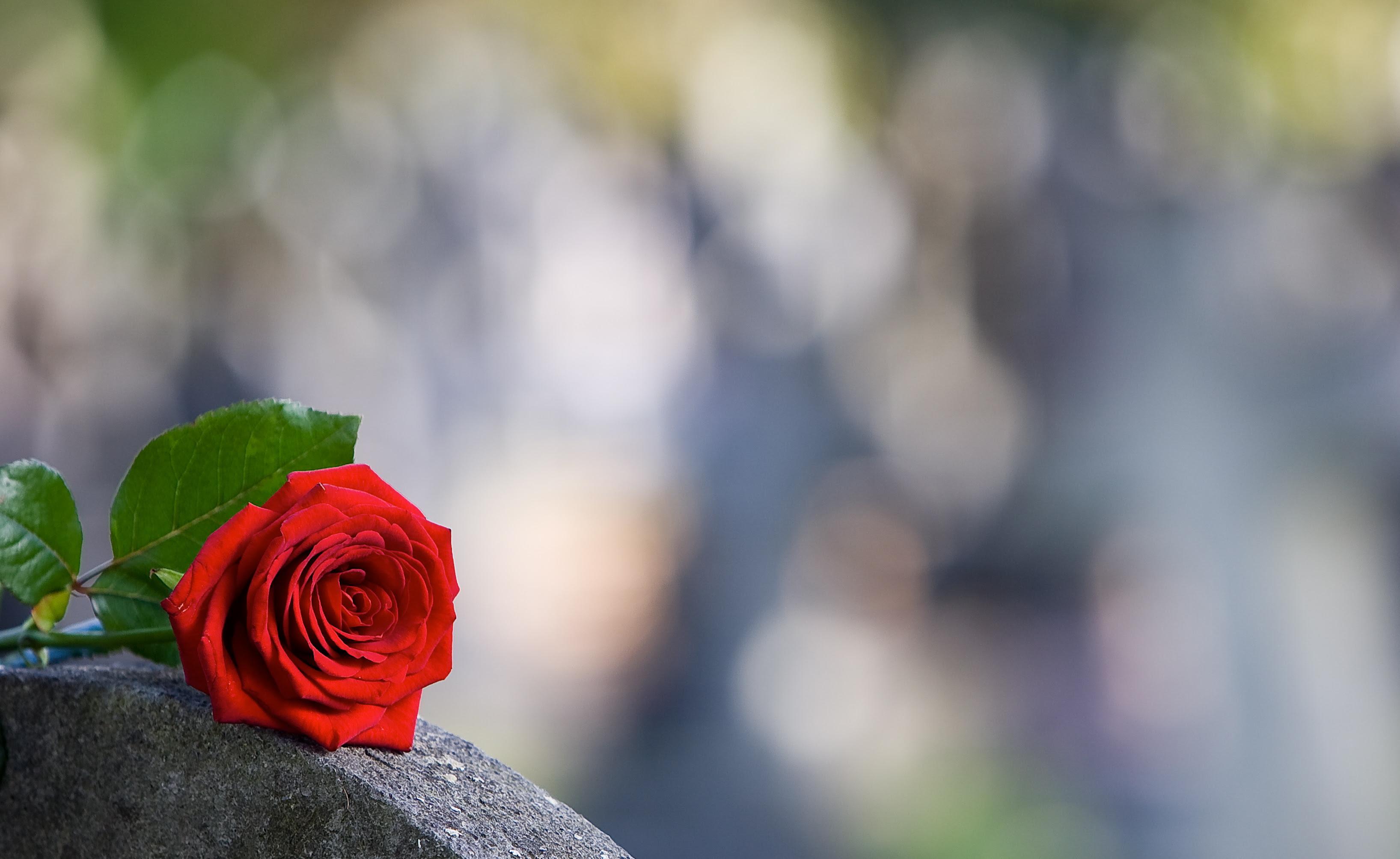 フリー画像花フラワー薔薇バラレッド花フリー素材画像素材なら