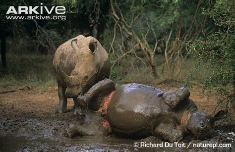 White rhinoceros photo   Ceratotherium simum   G22398   Arkive