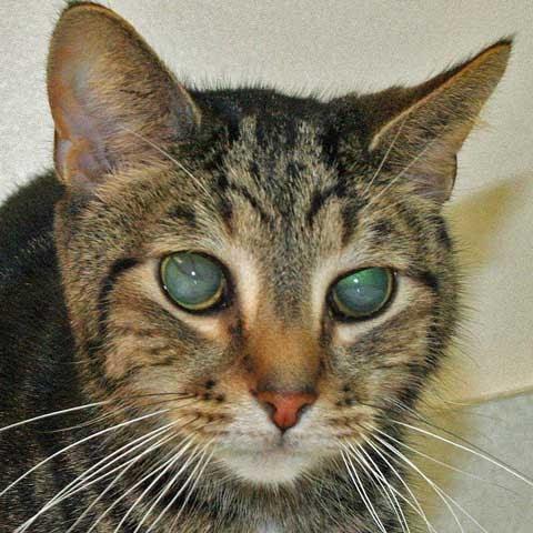 Katzz Picture Of Cat With Retinal Detachment