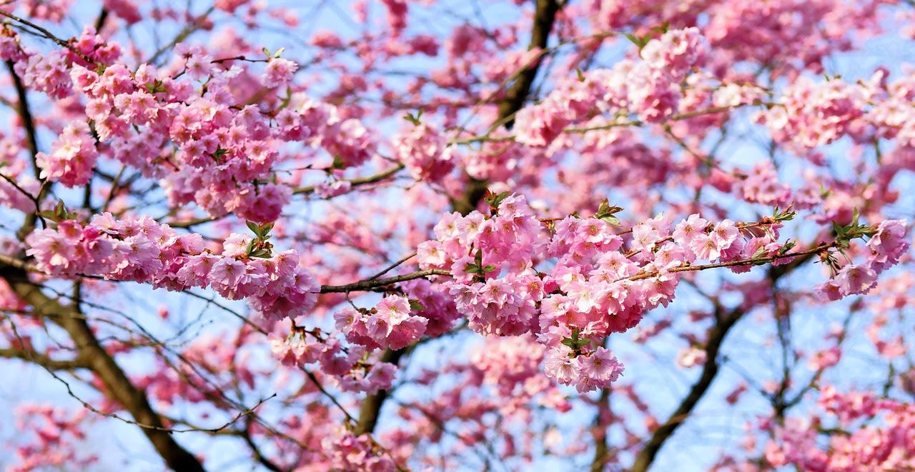 Comer Bajo Los Cerezos En Flor El Blog De Subaru El Blog De Subaru