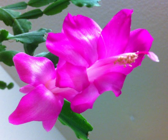 iPhone Christmas Cactus