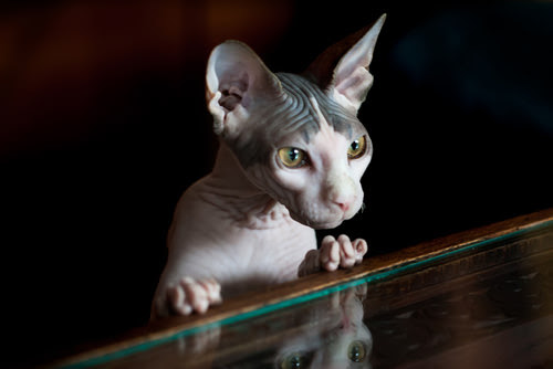 15 Weirdest Looking Cat Breeds