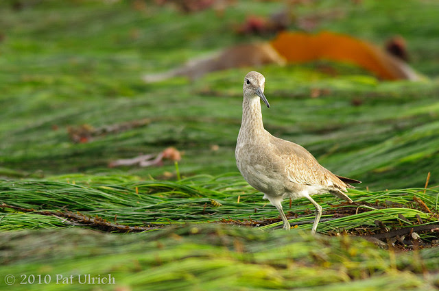 Willet in the intertidal zone at Pillar Point - Pat Ulrich Wildlife Photography